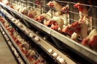 مازاد تولید روزانه ۱۰هزارتن تخم مرغ در کشور
