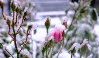 بارش برف بهاری و آسیب درختان +تصاویر
