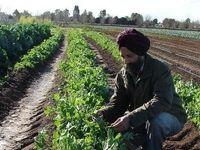 سه بیمهگر بزرگ هند از طرح ملی بیمه محصولات زراعی خارج شدند