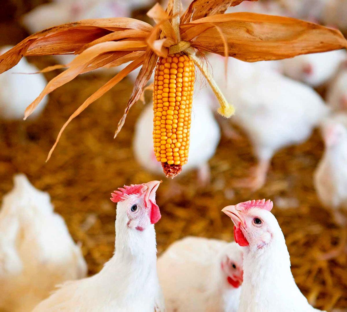 قیمت مرغ ۲۰ هزار و ۴۰۰تومان است