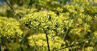 گیاه شگفت انگیز برای برای کمک به تولید سلول های خونی