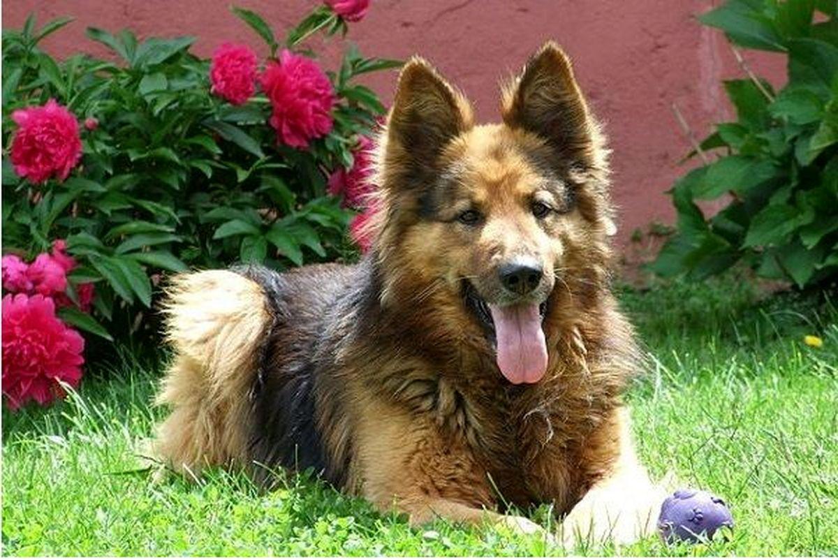 پرفروشترین سگها (نژادهای سگ) در ایران