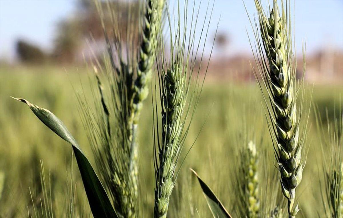 کیفیت گندم امسال افزایش یافت