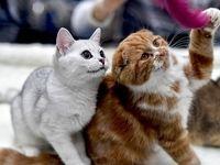 «فشنشو گربهها» در پایتخت +عکس