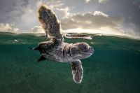تخریب زیستگاه لاکپشتها برای پرورش میگو
