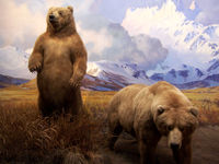 کشف خرس ۳۹ هزار ساله! + عکس