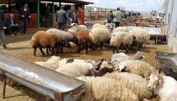 کمبود گوسفند برای قربانی در ماه محرم جدی است؟