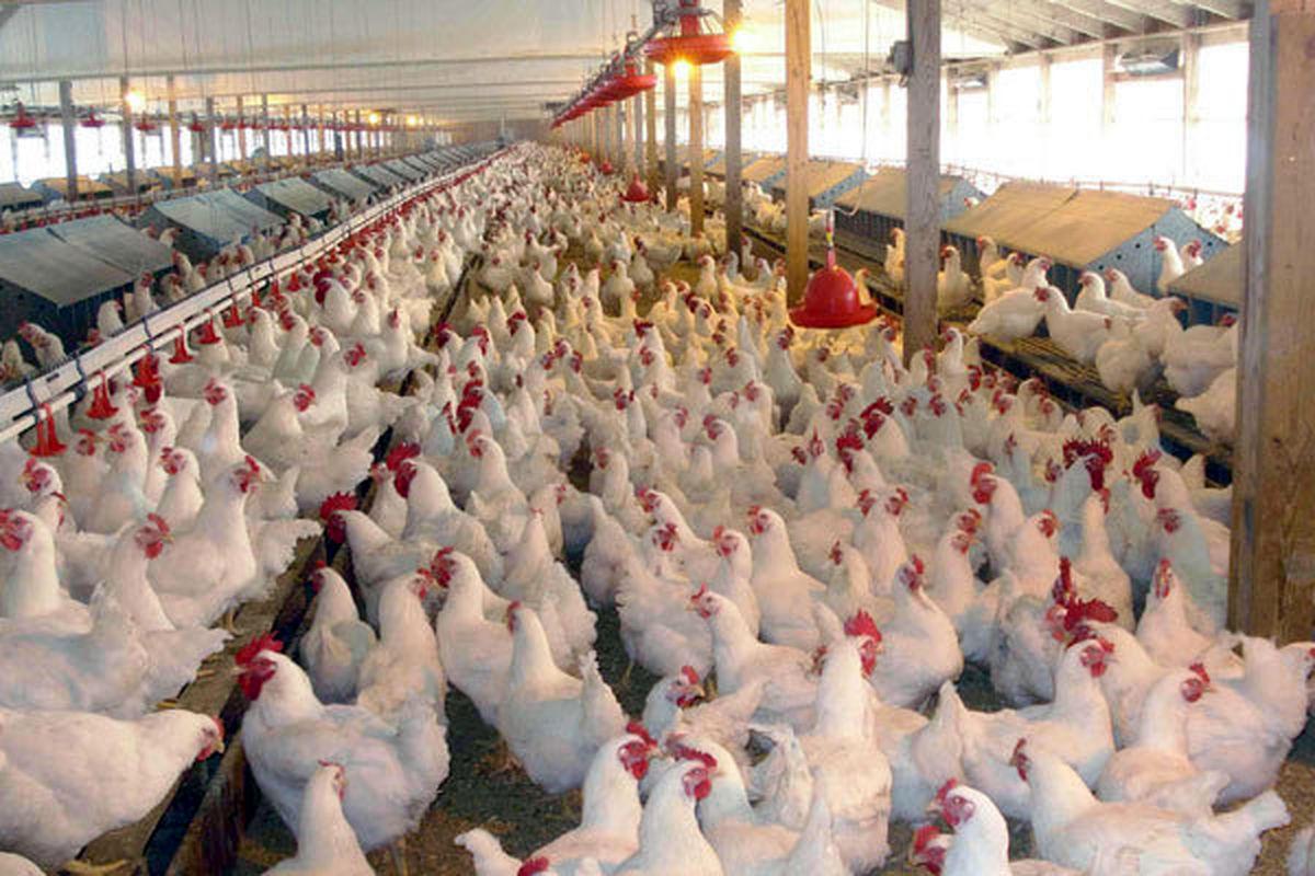 چالشهای صنعت مرغداری کشور/ افزایش شدید قیمت مرغ و تخممرغ در راه است؟