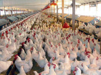 قیمت هر قطعه جوجه یکروزه به 3هزار تومان رسید/ هزینه تمام شده تولید مرغ 7750تا 7800تومان