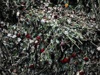 پلاسیدگی صدها هزار شاخه گل رُز پرورش داده شده در کنیا