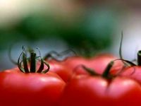 علت صادرات گوجهفرنگی با وجود ممنوعیت صادرات