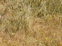 هجوم ملخهای صحرایی به هرمزگان +عکس