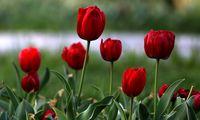 جشنواره گلهای لاله در اراک +عکس