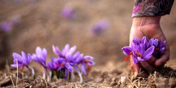 پیشبینی افزایش 10درصدی قیمت زعفران در نوروز