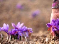 ایجاد فضای آزاد برای متقاضیان خرید زعفران بدون کمترین رانت