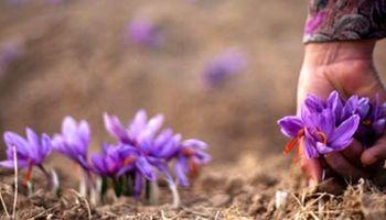 مرند قطب جدید تولید زعفران ایران