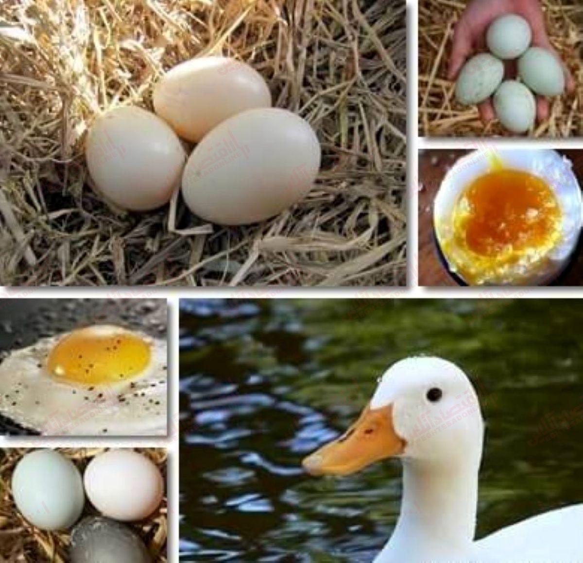 تخم اردک در مقابل تخم مرغ