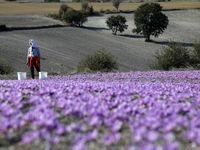آخرین وضعیت بازار زعفران در روزهای پایانی برداشت؟