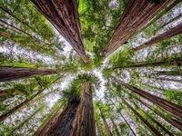 درختان سر به فلک کشیده در عکس روز نشنالجئوگرافیک +تصویر