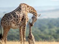 مبارزه یک زرافه با شیر+ عکس