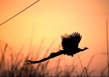 لحظه پرواز طاووس +عکس