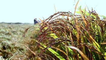 برداشت برنج از شالیزارهای دزفول +تصاویر