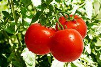بهزودی وضعیت گوجهفرنگی بهبود مییابد