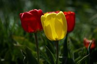 مزرعه پرورش گل لاله +تصاویر