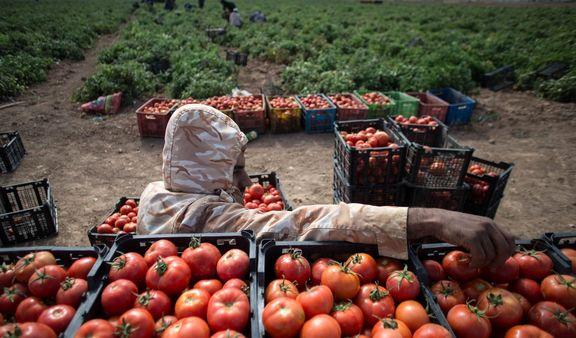 توقیف ۱۵تن گوجهفرنگی قاچاق در محموله صادراتی کاهو