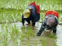 برنج بیش از ۱۰۵۰۰تومان، گرانفروشی است
