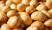 سیبزمینی تازه در راه بازار