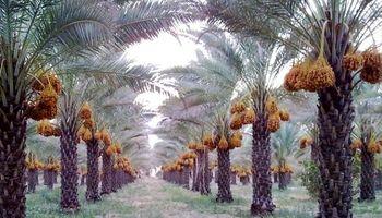 20 درصد؛ کاهش تولید خرما در کشور