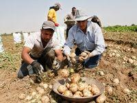 قیمت سیب زمینی در میادین ۹۰۰تومان