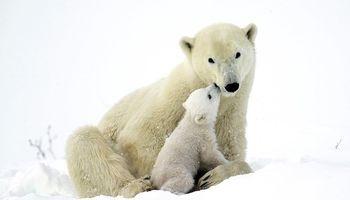 اولین حضور توله خرسهای قطبی در طبیعت +تصاویر