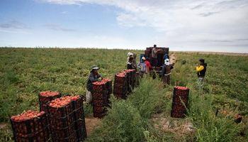 گوجهفرنگیِ ارزان شده همچنان گرانتر از پارسال