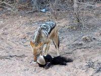 درگیری گورکن و شغال بر سر شکار +عکس