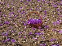 رشد بیسابقه تولید زعفران در افغانستان