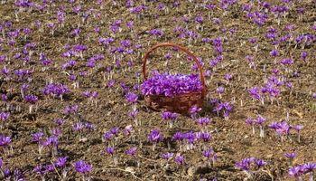 پیش بینی افزایش 30تا 40درصدی صادرات زعفران نسبت به سال گذشته/ قیمت زعفران درجه یک در بازارجهانی 1100دلار