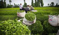 صادرات ۶هزارتن چای از کشور/ تولید ۵۰درصد چای مورد نیاز داخلی در برنامه توسعه
