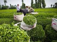 پرداخت مطالبات چایکاران با فروش چای به زیر قیمت تمام شده/ قیمت فروش چای به خارجیها ۲هزار تومان ارزانتر از داخل