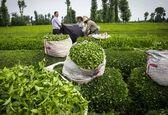 منتظر نتایج منفی تصمیمات اخیر دولت بر تولید چای باشید