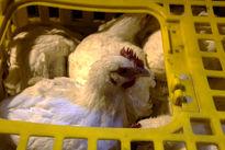 مرغها چگونه خوشحال میشوند؟