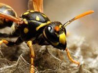 کشف چهار زنبور زنده در زیر پلک یک زن!