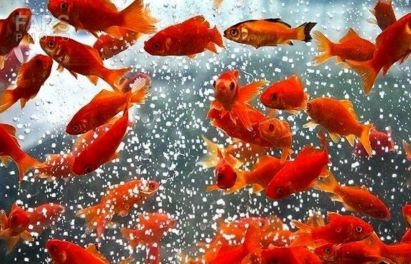 ماهی قرمز را در آبهای طبیعی رها نکنید