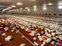 قیمت واقعی هر کیلوگرم مرغ چقدر است؟/ محاسبه قیمت واقعی هر کیلوگرم مرغ با احتساب تمام فاکتورهای دخیل در تولید
