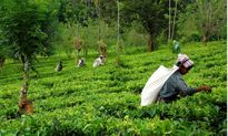 مروری سریع بربزرگترین تولیدکنندگان چای +فیلم
