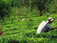 کرونا در بحث تولید چای تاثیر زیادی نداشت