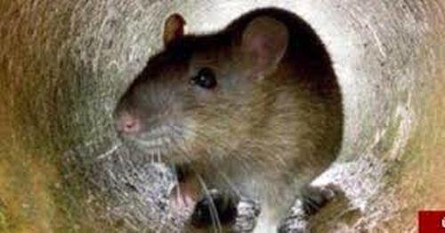 شایعه انتقال موشهای زنده به پایتخت توسط شرکتهای پیمانکاری صحت دارد؟
