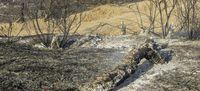 آتشسوزی در بیشهزارهای گتوند +تصاویر