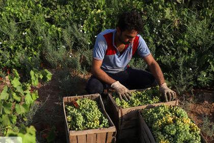برداشت غوره در شهرستان کارون، خوزستان +عکس